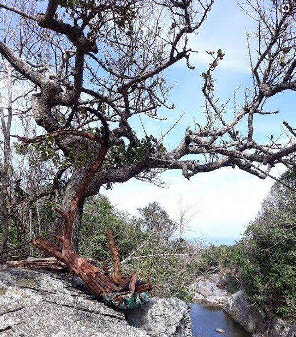 Loài Cây Thường Xanh, Có Thể Rụng Lá Vào Mùa Khô Và Nở Hoa Vào Mùa Xuâ